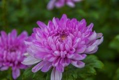 Osedd Thailand krysantemum av lopburien Arkivfoton