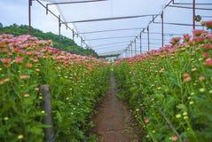 Osedd Thailand krysantemum av lopburien Royaltyfria Bilder