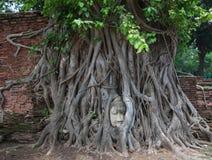 Osedda Thailand, huvud av sandstenBuddha i trädet rotar på Wat Mahathat Arkivbild