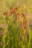 Oseille de fleur Photographie stock