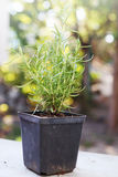 Osemary bush in a container Royalty Free Stock Photo