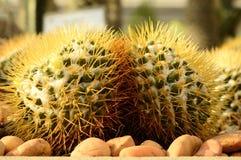 oset kaktusowa pochodnia Obraz Royalty Free
