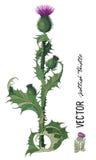 Oset Onopordum acanthium szkocki oset royalty ilustracja