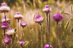 Oset purpur kwiatu zieleni natury cierniowa roślina Fotografia Royalty Free
