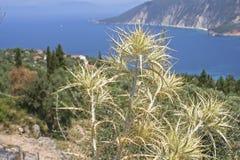 Oset roślina Obrazy Royalty Free