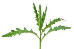 Oset roślina zdjęcia stock