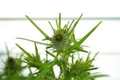 Oset roślina przygotowywająca kwitnąć Obrazy Stock