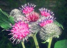 Oset z lilymi kwiatami Zdjęcie Royalty Free