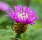 Osetu kwiat obrazy royalty free