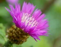 Osetu kwiat obraz royalty free