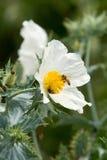 Osetu kwiat Zdjęcie Royalty Free
