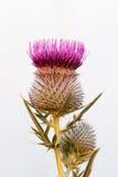 Osetu kwiat Zdjęcie Stock