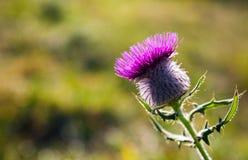 Osetu kwiat Fotografia Stock