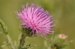 Osetu kwiatu głowa zdjęcie stock