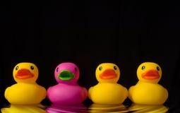 Osez être différent - les canards en caoutchouc sur le noir - avec l'ondulation de l'eau Photographie stock libre de droits
