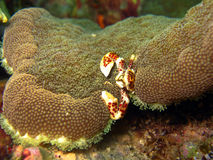 Oshima's Porcelain Crab. Maratua, Indonesia Stock Photo