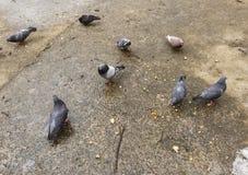 Osiem miast gołębi jedzą chleb na mokrym betonie po deszczu Zdjęcie Stock