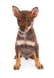 Osiem tygodni stary szczeniak z brown futerkiem Obraz Royalty Free