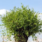 An osier is sprouting in spring, Salix viminalis Royalty Free Stock Photography
