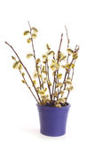 Osier in a vase Royalty Free Stock Photo