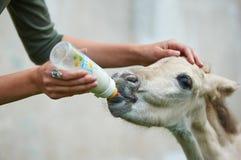 Osierocony źrebię pije mleko Fotografia Royalty Free