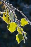 osika zakrywał mrozów liść obrazy stock