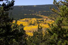 Osika Zakrywająca góra Obramiająca sosnami Zdjęcie Stock