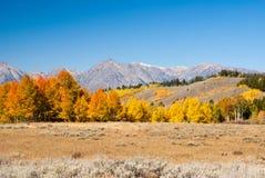 Osiki Aglow w Uroczystym Tetons Obraz Stock