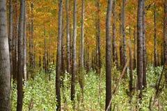 Osiki w jesieni barwią na Środkowym Oregon drzewnym gospodarstwie rolnym obrazy royalty free
