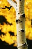osikowa jesień Obrazy Royalty Free