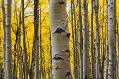 osikowego zbliżenia drzewny bagażnik Obrazy Stock