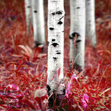 Osikowi brzoz drzewa w spadku Obraz Stock