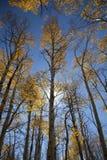osikowi drzewa Obrazy Stock