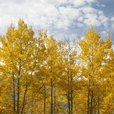 osikowi drzewa Zdjęcia Royalty Free