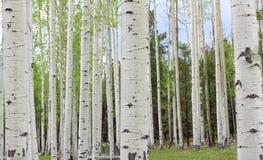 Osikowi drzewa Obrazy Royalty Free