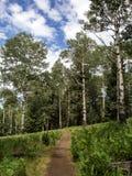 Osikowi drzewa na Kachina wlec w flagstendze Arizona Zdjęcie Stock