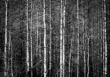 Osikowi drzewa w Czarny I Biały obraz stock