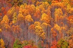 Osikowy drzewa tło Zdjęcia Royalty Free