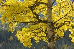 osikowy drzewo Obraz Royalty Free