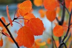 Osikowy drzewo Fotografia Stock