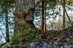 Osikowy drzewo uszkadzający bobrem Obrazy Stock