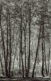 Osikowy gaj - Czarny I Biały obraz royalty free