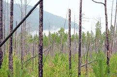 Osikowy las w few rok po ogienia Fotografia Royalty Free