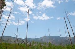 Osikowy las w few rok po ogienia Fotografia Stock