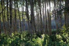 Osikowy las w Kalifornia, usa zdjęcie stock