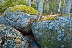 Osikowy las w wczesnej wiośnie Obraz Royalty Free