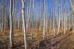 Osikowy las w wczesnej wiośnie Obrazy Royalty Free