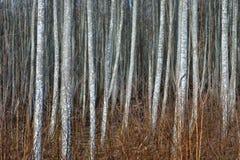 Osikowy las w wczesnej wiośnie Obrazy Stock