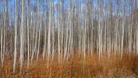 Osikowy las w wczesnej wiośnie Zdjęcia Royalty Free