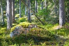 Osikowy las w wczesnej wiośnie Fotografia Royalty Free